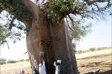 أشجار التبلدي لتخزين المياه في غرب السودان