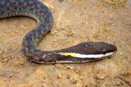 AFP/ This undated handout received 26 September, 2007 by the World Wildlife Fund (WWF) shows a new snake species called white-lipped keelback, discovered in Vietnam.