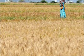 afp : A Pakistani woman carries water as she walks through fields of ripening wheat on the outskirts of Islamabad on April 26, 2008. Pakistan's government may import one to 1.5