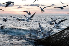 REUTERS/  Gulls swoop over a full net aboard the trawler 'Ville de Pornic' in the Atlantic Ocean off western France early May 28, 2008. Many of Europe's professional fishermen are protesting