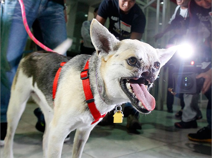 epa03735849 Dog hero 'Kabang' arrives at Manila's international airport, Philippines, 08 June 2013. 'Kabang', a female Aspin, returned to the Philippines after getting treatment in the United States for the upper jaw she lost in her heroic act saving her owner's daughter and niece, who were apparently in the path of an oncoming motorcycle.  EPA/FRANCIS R. MALASIG