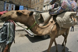 FILE – In this June 8, 2011 file photo, a Yemeni manas he leads his camel loaded with his belongings as he flees an area due to clashes between security forces and tribesmen in Taiz, Yemen. Scientists say the mysterious MERS virus has been infecting camels in Saudi Arabia for at least two decades and that previous human cases have probably been missed. Since the Middle East respiratory syndrome coronavirus was first identified in 2012, doctors have struggled to explain how most patients have fallen sick. MERS can cause symptoms including fever, breathing problems and kidney failure. To date, it has killed more than 180 people, mostly in the Middle East though infections have also spread to Europe and northern Africa. (AP Photo/Anees Mahyoub, File)