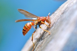 Close up side view of wasp clinging to side of wooden surface on sunny day