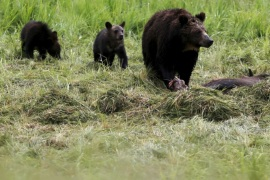 A grizzly bear and her two cubs approach the carcass of a bison in Yellowstone National Park in Wyoming, United States, July 6, 2015. REUTERS/Jim Urquhart/File Photo