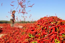 A man spreads red chili peppers to dry at a village in Zhangye, Gansu province, China September 20, 2017. Picture taken September 20, 2017. REUTERS/Stringer ATTENTION EDITORS – THIS IMAGE WAS PROVIDED BY A THIRD PARTY. CHINA OUT. NO COMMERCIAL OR EDITORIAL SALES IN CHINA.