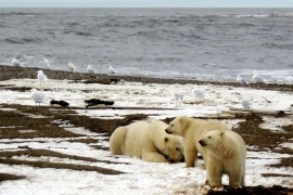 A polar bear sow and two cubs are seen on the Beaufort Sea coast within the 1002 Area of the Arctic National Wildlife Refuge in this undated handout photograph provided by the U.S. Fish and Wildlife Service. The deadline for deciding whether to list the big white bears as threatened under the Endangered Species Act is Wednesday but Dale Hall, head of the U.S. Fish and Wildlife Service, told reporters on January 7, 2008, it would take as much as a month more to analyze all the information. Environmentalists vowed to sue for quicker action. REUTERS/U.S. Fish and Wildlife Service/Handout  (UNITED STATES).  EDITORIAL USE ONLY. NOT FOR SALE FOR MARKETING OR ADVERTISING CAMPAIGNS.