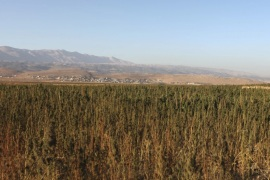 Cannabis plants grow in a field in the Bekaa valley, Lebanon October 4, 2015. Syrian refugees work to harvest and process spiky-leafed cannabis plants in neighbouring Lebanon's Bekaa Valley. Often farmers of cotton and wheat back home in Raqqa province – now the de facto capital of Islamic State – the conflict in Syria drove them to seek safety in a region where Syrian migrant workers used to spend a few months a year before returning home. REUTERS/Alia Haju PICTURE 2 O