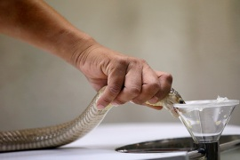 epa04634893 A Thai snake expert extracts venom from a Siamese Cobra at the Snake Farm in Bangkok, Thailand, 24 February 2015. The Snake Farm in Thailand is the second snake farm in the world after Butantan Snake Farm in Sao Paolo, Brazil. The Snake Farm was opened in 1923 when it aimed to become an official institute to utilize the research and develop serum and treatment against the venom of snakes and python in the country. Thailand is the home of more than 200 various kind of snakes, with 60 of them being venomous.  EPA/RUNGROJ YONGRIT