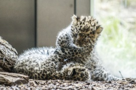 New born Amur leopard twin cubs at Vienna Zoo- – VIENNA, AUSTRIA – MAY 09: New born Amur leopard twin cubs are seen at its enclosure at Vienna Zoo in Vienna, Austria on May 09, 2018. The new born Amur leopard twin cubs were born on March 27, 2018. in 2016, the female Ida was moved from the Olomouc Zoo, Czech Republic, to Vienna Zoo, and in the previous year the male Piotr came from the Moscow Zoo. The Amur leopard is threatened with extinction and only about 100 animals