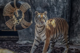 Istanbul's first Bengal tiger cubs meet their visitors- – ISTANBUL, TURKEY – JULY 27: A tiger is seen at Lion Park of Tuzla Viaport Marina hosting two Bengal tigers, two Siberian tigers and three Bengal tiger cubs, within International Tiger Day in Istanbul, Turkey on July 27, 2019.