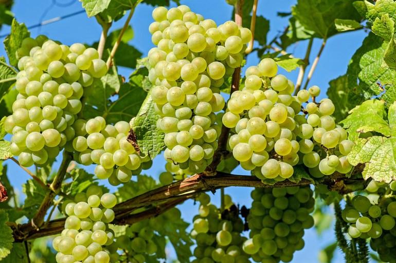 تناول حصة واحدة من العنب يزود الجسم بحوالي 90 سعرة حرارية (بيكسابي)