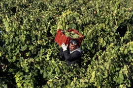 Daniel Ivanov, 48, a temporary worker from Bulgaria, carries a cage full of white wine grapes during harvest in Moradillo de Roa, central Spain, October 2, 2018. Picture taken October 2, 2018. REUTERS/Sergio Perez