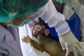 This picture taken on May 23, 2020 shows a laboratory baby monkey being examined by employees in the breeding centre for cynomolgus macaques (longtail macaques) at the National Primate Research Center of Thailand at Chulalongkorn University in Saraburi. – After conclusive results on mice, Thai scientists from the centre have begun testing a COVID-19 novel coronavirus vaccine candidate on monkeys, the phase before human trials. (Photo by Mladen ANTONOV / AFP)