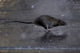 A rat runs across a sidewalk in the snow in the Manhattan borough of New York City