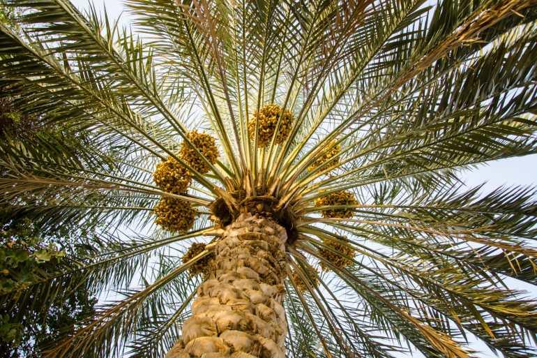 فريق مصري يتوصل لإنتاج أول ألياف نسجية من منتجات النخيل
