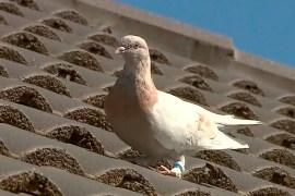 سلطات الحجر الصحي الأسترالية تدرس الآن التعاقد مع صائد طيور محترف لاصطياد الحمامة (الصحافة الأجنبية)