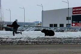 الدب طارد رجل في شوارع المدينة لكنه لم يتمكن من اللحاق به بعد قطعه طريق السيارات (مواقع التواصل)