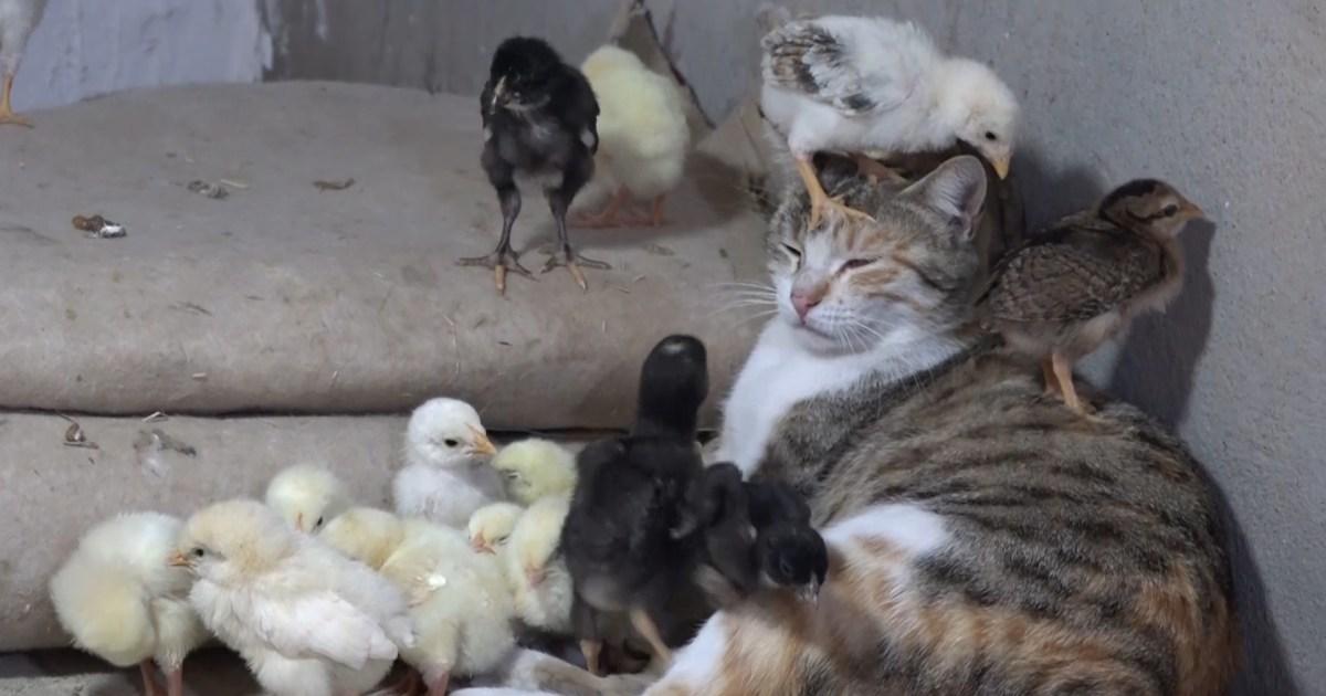 شاهد-في حالة نادرة جدا.. قطة ترعى فراخ الدجاج في العراق