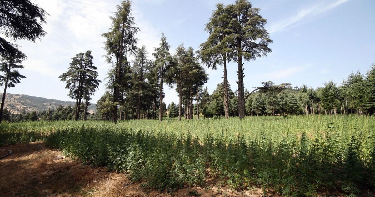 المغرب يسعى لاستخدام القنب الهندي من خلال تقنين زراعة النبتة المخدرة