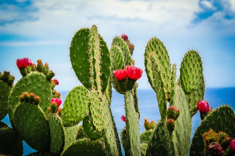 العديد من أنواع الصبار محلية للغاية وتنمو فقط في منحدرات معينة في المكسيك، أو في البيرو أو داخل ولاية تكساس (غيتي)