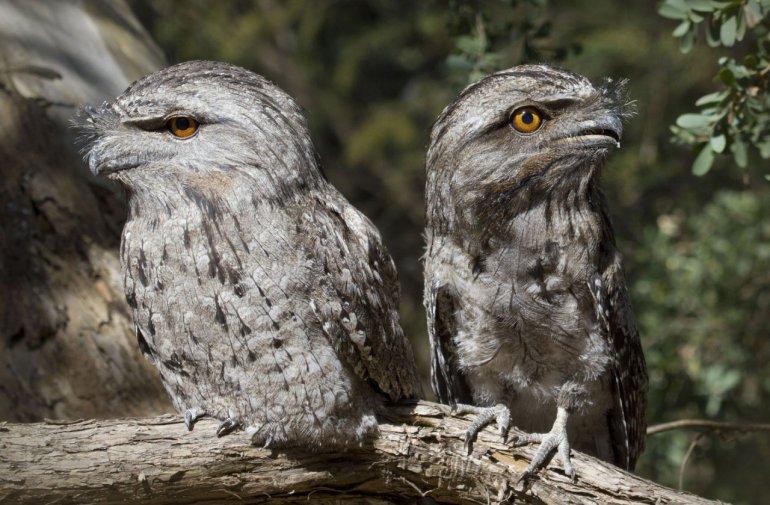أبشع طائر في العالم طائر فم الضفدع الأوفر حظاً على الانستغرام